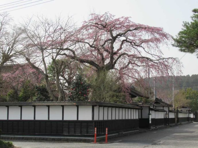 髙倉勝子美術館桜小路を武家屋敷通りから眺める