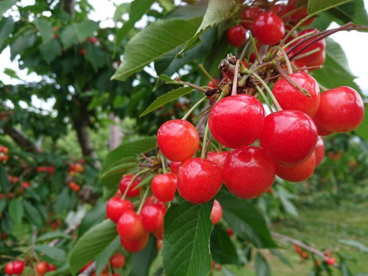 田中果樹園で収穫できるブドウとサクランボの品種