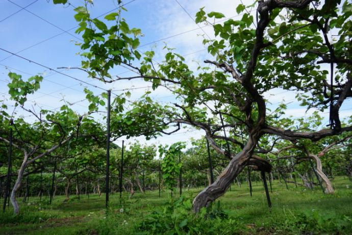 田中果樹園で果物を収穫する方法やコツ