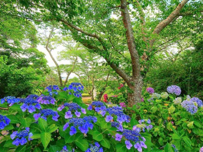千葉県館山市にある城山公園で咲いているあじさい