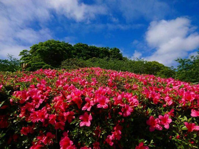 千葉県館山市にある城山公園でツツジが咲き誇る様子