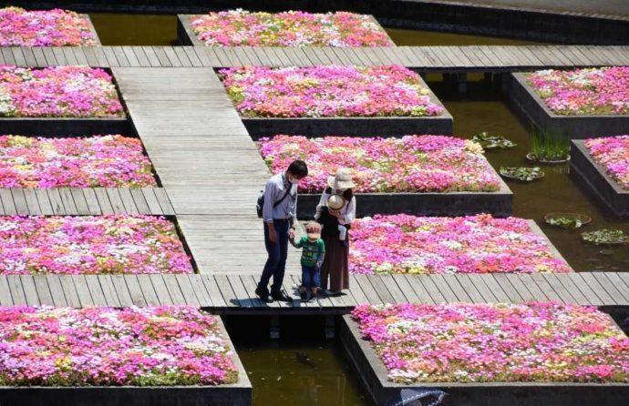リビングストンデイジーでキラキラと輝く「とっとり花回廊」の春の水上花壇