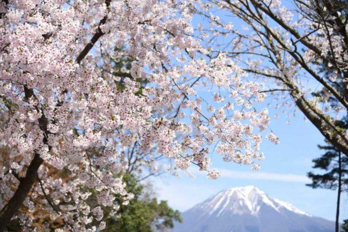 鳥取県南部町の「とっとり花回廊」から望む秀峰大山と桜のコラボレーション