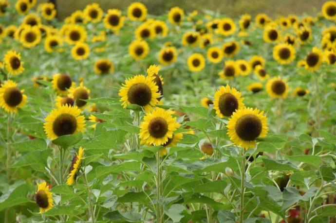 夏の「とっとり花回廊」で楽しめるイベント「ヒマワリ迷路」