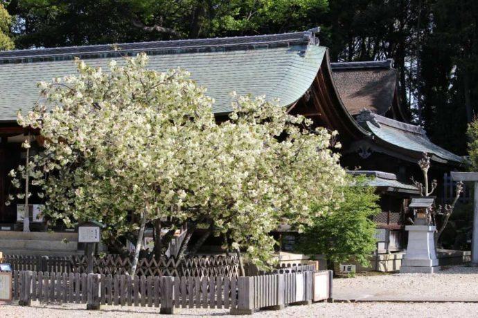 貴重な鬱金桜が咲く春の上地八幡宮
