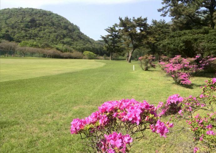 雲仙ゴルフ場の春はミヤマキリシマが美しい
