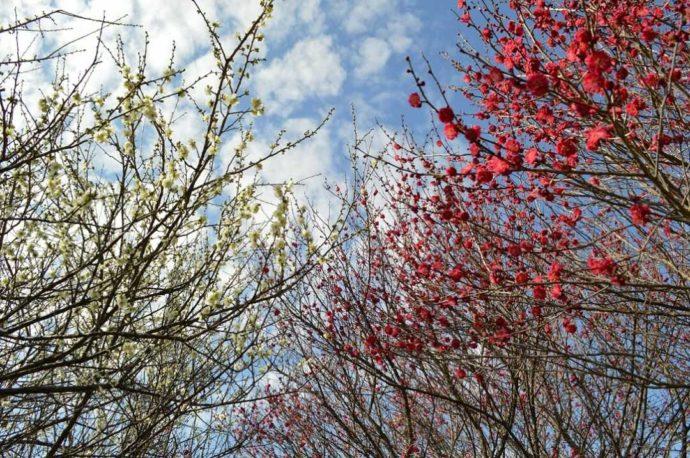 大阪府枚方市にある「山田池公園」敷地内で鑑賞できる実りの里の梅