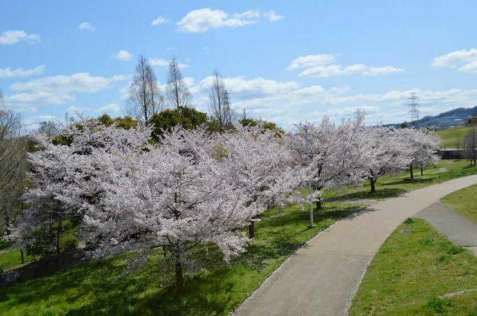 春の山田公園内で鑑賞できるたくさんのソメイヨシノ