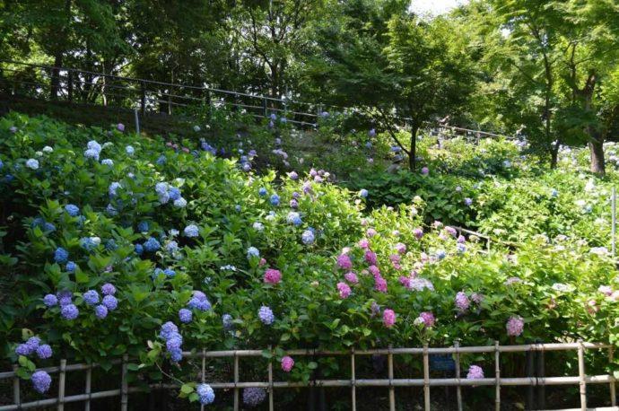 大阪府枚方市にある「山田池公園」内にあるあじさい園