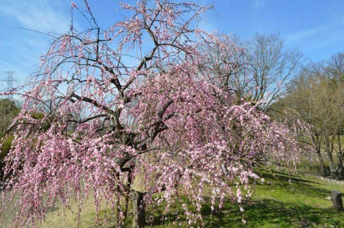 枚方市にある「山田池公園」内で冬から春に咲くシダレウメ
