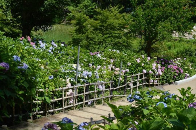 毎年楽しめる「山田池公園」のあじさい園
