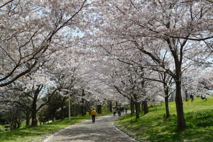 大阪府にある「山田池公園」のソメイヨシノ