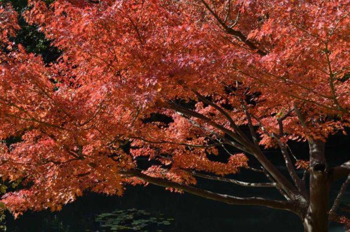 山田公園で毎年秋に見られる紅葉