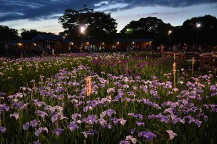 夜間ライトアップにより照らされている花しょうぶ園