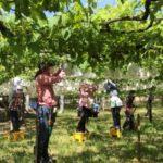 愛知岡崎の「ヤマナカ果園」へぶどう狩りについてインタビューしました